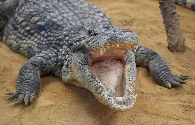 Krokodil - Världens största kräldjur