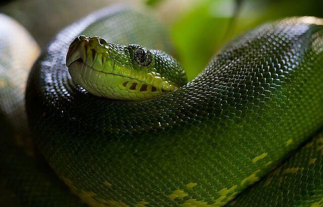 Pytonorm - Världens största ormar